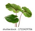 Homalomena Foliage  Green Leaf...