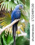 Blue Hyacinth Macaw Perching O...