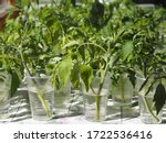 Small photo of Agricultural spring background.When the tomato seedlings outgrow, the sprout is cut off and put in water to take root.Plants are ready to be planted in the open ground.