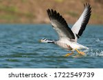 A Bar Headed Goose Flying Off...