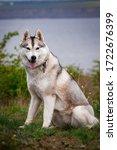Siberian Husky Dog. Bright...