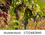 Colorful Bunches Of Red Wine...