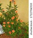 Kanakambaram Flowers In My...