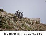 Humboldt Penguins On Islas...