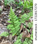 Small photo of A brittle bladder fern grows out of decomposing leaves. Indiana.