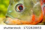 Aquarium Fish Close Up. Oscar...