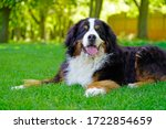 Large Bernese Mountain Dog...