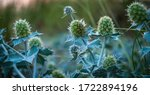 Close Up Of A Group Of Thistle...