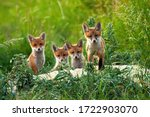 Curious Little Cubs Of Red Fox  ...