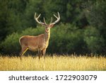 Sunlit red deer  cervus elaphus ...