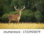 Sunlit Red Deer  Cervus Elaphus ...