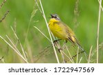 Western Yellow Wagtail ...