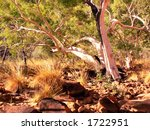 Gum Tree In A Dry Creek Bed In...