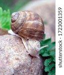 Small photo of Snail on a wet rock. Helix pomatia also Roman snail, Burgundy snail, edible snail or escargot.