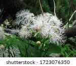 White Flower Calliandra Bloom...
