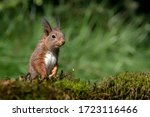 Curious Eurasian Red Squirrel ...