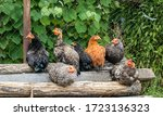 Chickens On Logs In The Countr...