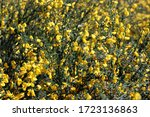 The Genus Of Gorse  Genista ...
