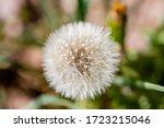 Close Up Of Dandelion Seed Hea...