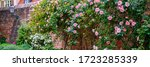 Climbing Roses Plant   Banner....