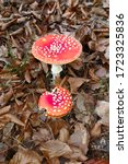 Two Red Fly Agaric Mushrooms ...