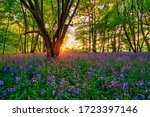 Woodland Bluebell Forest At...