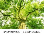 Magnificent Tree Tops Of A...