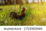 A Large Rooster Stands In The...