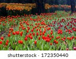 colorful field of tulips | Shutterstock . vector #172350440