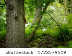 Red Squirrel Climbing Down A...