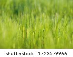 A Mature Field Of Barley And...
