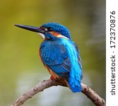 Beautiful Blue Kingfisher Bird...