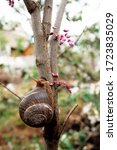 Small photo of A snail crawls on a tree. a large grape snail crawls in the grass. vertical photo. Grape snails are also Roman snails, Burgundy snails, snails or escargots.