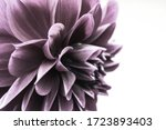 Faded Purple Chrysanthemum...