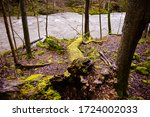 Uprooted Moss Tree Pointed...