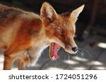Close Up Of A  Yawns Red Fox...