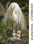 A Mother Great Egret Fusses At...