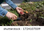The process of planting a gladiolus bulb or corm in a mixborder in a garden plot. Seasonal work on planting seedlings of flowers in landscaping near a country house. Farmer