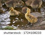 Goslings On Pond Shore....
