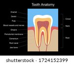 tooth anatomy  medical labeled... | Shutterstock .eps vector #1724152399