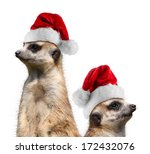 Two Meerkat With Santa Hats
