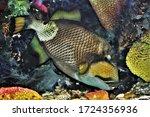 The Titan Triggerfish  Giant...