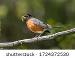 A Devoted American Robin Mother ...