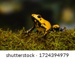 "Young golden poison frog ""Blackfoot"" on a mossy branch"