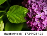 Lilac Blossomed In Spring ...