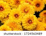 Very Beautiful Chrysanthemums...