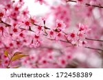 lao sakura in winter season | Shutterstock . vector #172458389