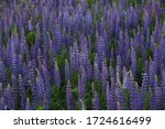 Lupinus. Field Of Purple...