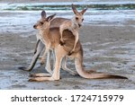 Two young male kangaroos playing with each other with big energy, at the beach in front of the ocean, sunset time. Full body picture, one on top of the other. Cape Hillsborough, Queensland, Australia