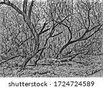 Old Gnarled Trees In Smolensk...